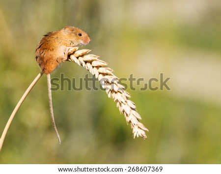 A tiny Harvest Mouse on an ear of corn - stock photo