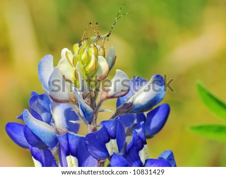 A tiny nymph katydid insect sits on top of a bluebonnet flower - stock photo