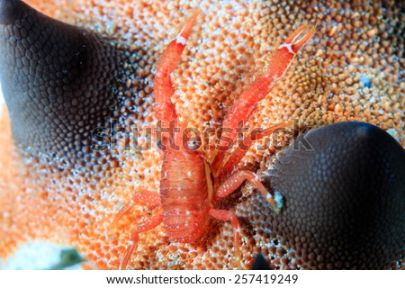 A Tiny Squat Lobster on the back of a starfish