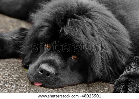 A tired and sweet newfoundland dog looks up to the camera. - stock photo