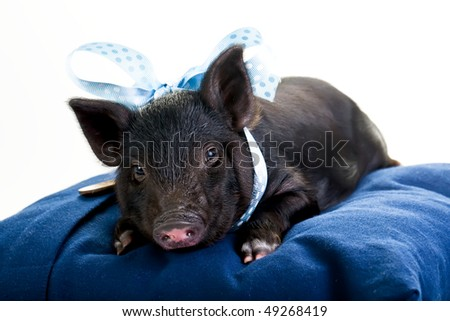 Pot Bellied Pig Stock Images Royalty Free Images