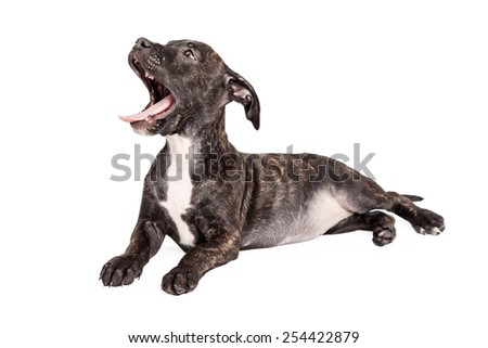 A tired Staffordshire Bull Terrier Mixed Breed 4 month old puppy laying at an angle.  Mouth is open with a yawn. - stock photo