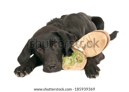 A tired young black labrador retriever playing with a shoe, isolated on white - stock photo