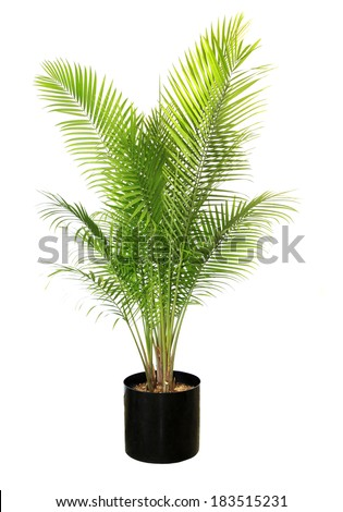 A 6 to 7 Foot Potted Majesty Palm Isolated on White - stock photo