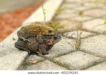A toad mating - stock photo