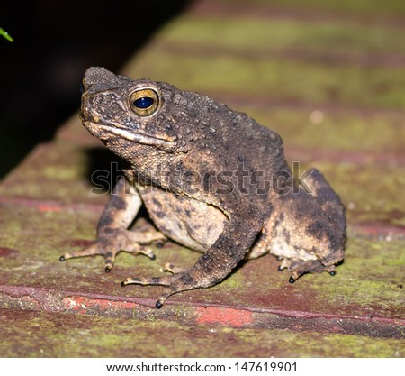 A toad sits on a wooden board in Borneo - stock photo