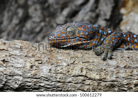 A Tokay Gecko (Gekko gecko) on a log in a vivarium