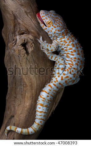 A tokay gecko is opening his mouth in a threatening gesture. - stock photo