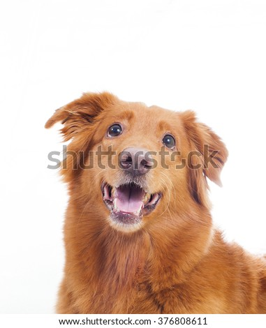 A toller portrait. Image taken in a studio where the dog is drooling a bit for a treat.
