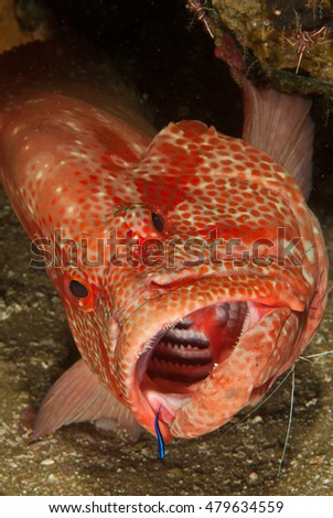 A tomato rock cod showing its sharp teeth