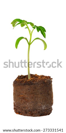 A tomato seedling in the peat pot, isolated - stock photo