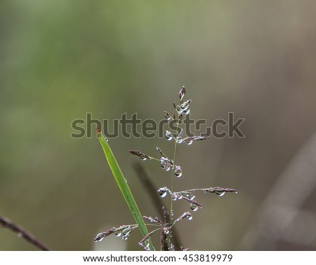 A top of a field plant and a blade of grass covered in morning dew droplets - stock photo