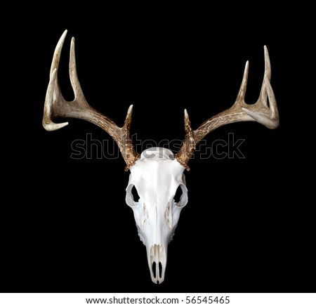A top view of a european deer mount - stock photo