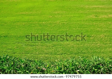 a top view of green rice fields, Bangkok, Thailand - stock photo