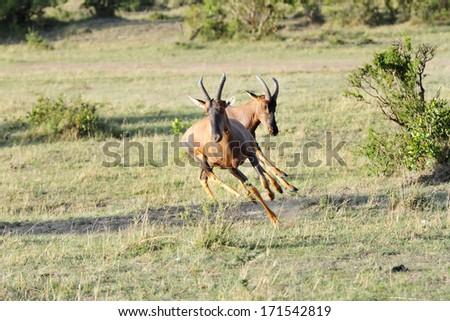 A Topi antelope bouncing near a bush - stock photo