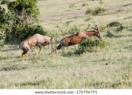 A Topi antelope chasing for fight - stock photo