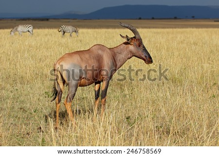 A topi antelope (Damaliscus korrigum), and plains zebras, Masai Mara National Reserve, Kenya  - stock photo