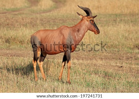 A topi antelope (Damaliscus korrigum), Masai Mara National Reserve, Kenya  - stock photo