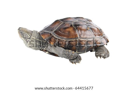 a tortoise is crawling with white background - stock photo