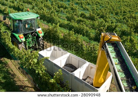 A tractor pulling a trailer containing bins being loaded with freshly harvested grapes from a grape harvester