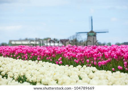 A traditional Dutch colorful tulips field with wildmill. Netherlands - stock photo
