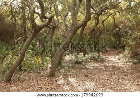 A Trail Winds Through the Florida Scrub Oaks