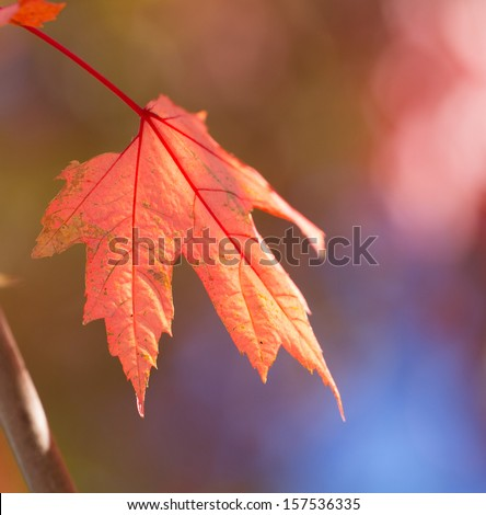 a transparent red maple leaf  - stock photo