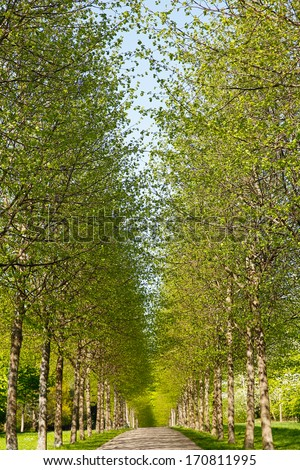 A tree alley with fresh green leaves during spring. - stock photo