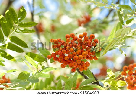 A tree blooming with Rowan berries in the fall, shallow focus - stock photo