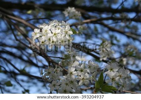 Tree blooms white flowers spring stock photo royalty free a tree blooms with white flowers in the spring mightylinksfo