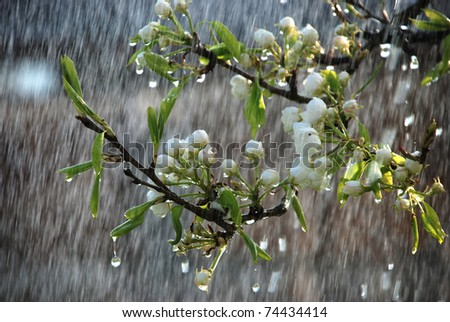 a tree branch with flowers in the rain - stock photo