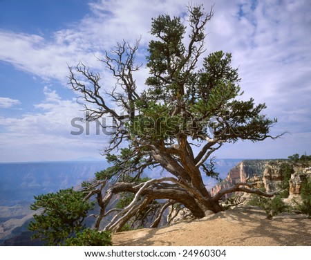 A Tree Clinging To The Edge, Grand Canyon National Park, Arizona, North Rim - stock photo