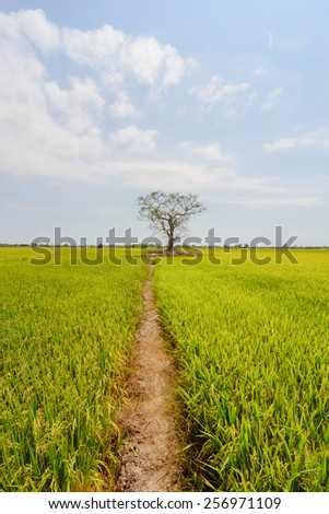 A tree dugout between rice paddies vast golden. - stock photo
