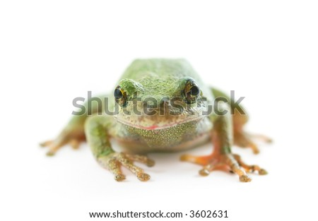 A Tree Frog on a white background.