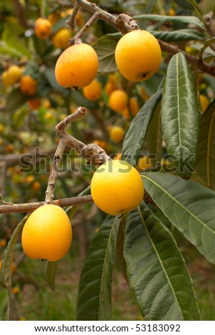 A tree full of ripe loquats ready to pick - stock photo
