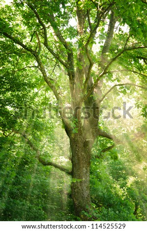 A tree in a forest with sunlight Sun pouring through the tree. The picture is toned. - stock photo