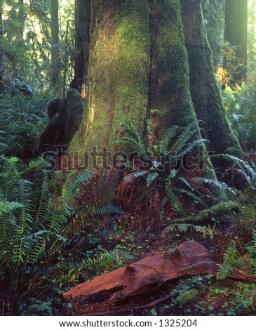 A tree in the Lady Bird Johnson Grove located in Redwood National Park. - stock photo