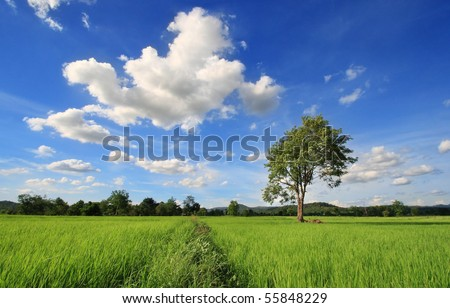 a tree on rice field