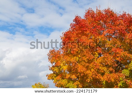 A tree showing colourful leaves in the fall with copy space