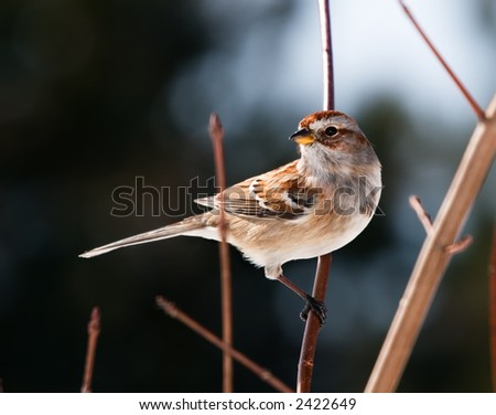 A Tree Sparrow perched on a tree branch. - stock photo