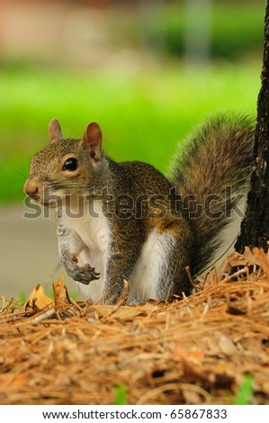 a tree squirrel - eastern gray squirrel (Sciurus carolinensis) playing under the tree canopy - stock photo
