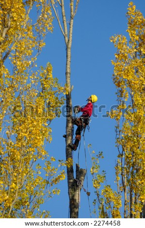 A tree surgeon, cutting down a poplar tree in autumn, looking to make his next cut.
