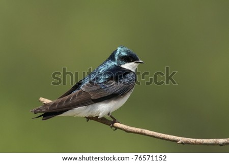 A Tree Swallow resting on a twig near it's nesting box. - stock photo