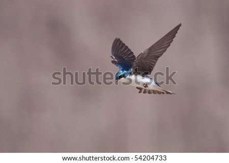 A tree swallow (tachycineta bicolor) in flight. - stock photo