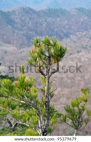 A tree-top of cedar pine (Pinus koraiensis).