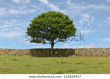 A tree with dark green leaves and a dome shape stands in the middle of a rock fence line that borders a green field with a blue sky background.