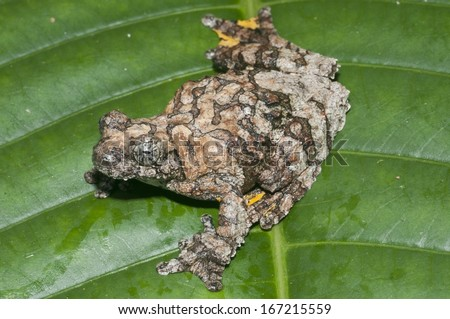 A treefrog (Hyla marmorata) sitting on a leaf in the Peruvian Amazon Rainforest near Iquitos.  - stock photo