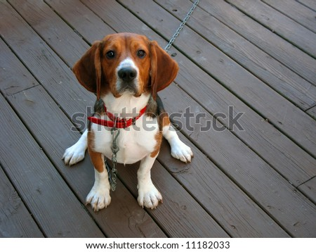A tri-colored beagle dog posed sitting. - stock photo