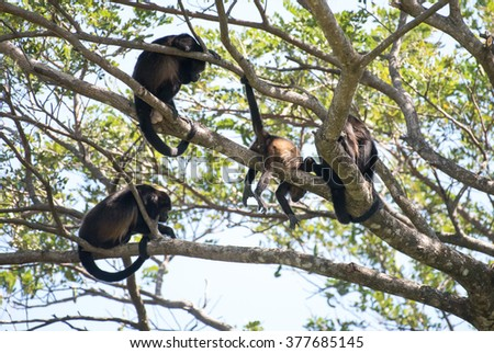 A tribe of howler monkeys in a tree - stock photo