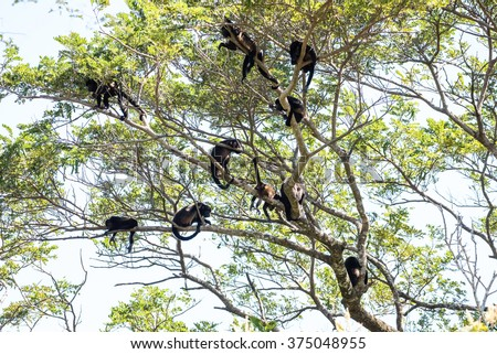 A tribe of howler monkeys in a tree in Central America - stock photo